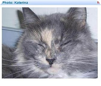 Calico Cat for adoption in Geneseo, Illinois - Katerina