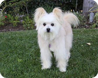Maltese/Papillon Mix Dog for adoption in Newport Beach, California - OLIVER