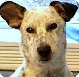 Blue Heeler/Border Collie Mix Dog for adoption in Wakefield, Rhode Island - REMMINGTON(SMART-SMART PUPPY!!