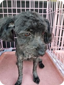 Maltese/Poodle (Miniature) Mix Dog for adoption in Fullerton, California - Shadow