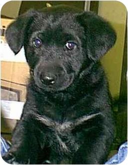 Retriever (Unknown Type)/German Shepherd Dog Mix Dog for adoption in dewey, Arizona - Jasmine