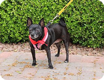 Chihuahua/Terrier (Unknown Type, Small) Mix Dog for adoption in Las Vegas, Nevada - KIKI (CAT FRIENDLY)