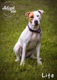 Foxhound Mix Dog for adoption in Salem, New Hampshire - Lita