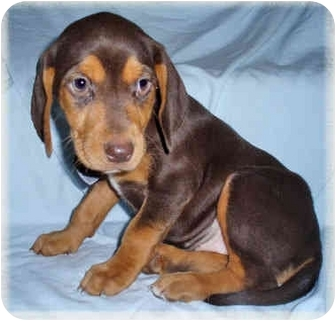 Beagle Mix Puppy for adoption in Howell, Michigan - Cocco