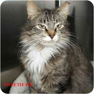 Domestic Longhair Cat for adoption in Slidell, Louisiana - Sweetie Pie