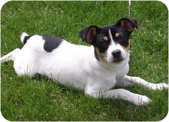 Rat Terrier Puppy for adoption in Owatonna, Minnesota - Margo