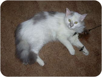 Domestic Longhair Cat for adoption in Chicago, Illinois - Spot