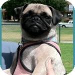 Pug Dog for adoption in Pismo Beach, California - Ella