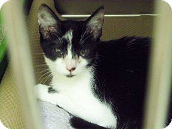 Domestic Shorthair Kitten for adoption in Secaucus, New Jersey - Oreo