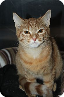 Domestic Shorthair Cat for adoption in North Branford, Connecticut - Buttercup