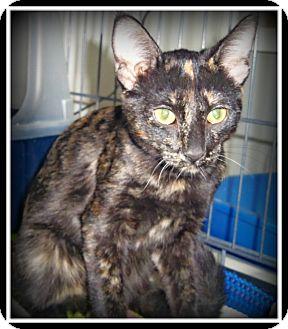 Calico Cat for adoption in Medford, Wisconsin - OLIVIA