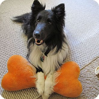 Sheltie, Shetland Sheepdog Dog for adoption in apache junction, Arizona - Starr