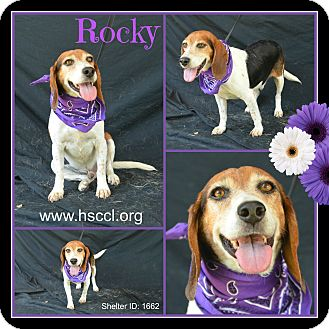 Beagle Mix Dog for adoption in Plano, Texas - Rocky