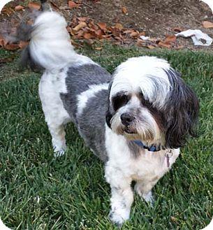 Lhasa Apso Mix Dog for adoption in Salt Lake City, Utah - BENTLEY