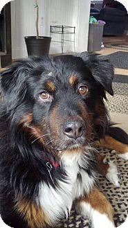 Bernese Mountain Dog/Collie Mix Dog for adoption in Westtown, Pennsylvania - bandit