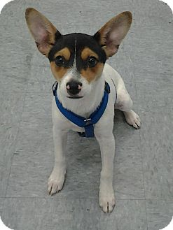 Jack Russell Terrier Mix Dog for adoption in Branson, Missouri - Cindy Loo
