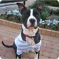 Adopt A Pet :: Boston - Kingwood, TX