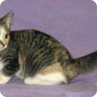 Domestic Shorthair Cat for adoption in Powell, Ohio - Griselda