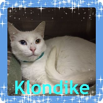 Turkish Van Cat for adoption in Pahrump, Nevada - Klondike