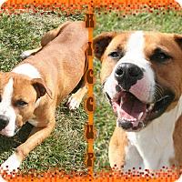 Adopt A Pet :: Hiccup - Tampa, FL