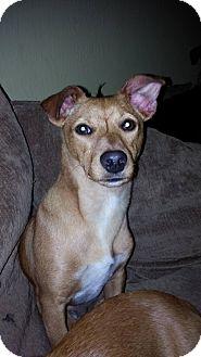 Dachshund/Chihuahua Mix Puppy for adoption in North Bend, Washington - Puppy Alert!  Wilson