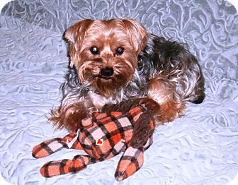 Yorkie, Yorkshire Terrier Dog for adoption in Conroe, Texas - Eddie