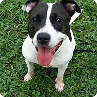 Adopt A Pet :: Shortie - Spring City, PA