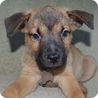 Cattle Dog/Shepherd (Unknown Type) Mix Puppy for adoption in San Diego, California - Evoque