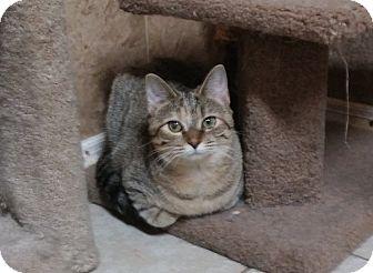 American Shorthair Cat for adoption in Hartselle, Alabama - Fluffy