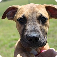 Adopt A Pet :: Brady - Brattleboro, VT
