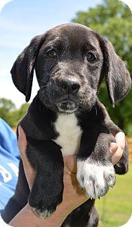 Labrador Retriever Mix Puppy for adoption in Brattleboro, Vermont - Betsy