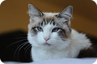 Snowshoe Kitten for adoption in Richmond, Virginia - Pinky (applications pending)