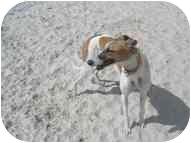Greyhound Dog for adoption in St Petersburg, Florida - Bobby Sox