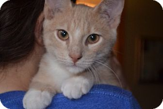Domestic Shorthair Kitten for adoption in Rochester, Minnesota - Blyton