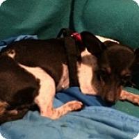 Chihuahua Mix Dog for adoption in Mesa, Arizona - Terri