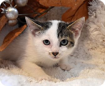 Domestic Shorthair Kitten for adoption in Bristol, Connecticut - Texas-PENDING