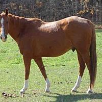 Quarterhorse for adoption in Union, Missouri - JERRY