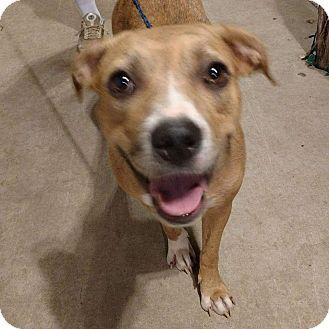 Catahoula Leopard Dog Dog for adoption in Jarrell, Texas - Nala