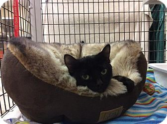 Domestic Shorthair Cat for adoption in Janesville, Wisconsin - Jeanine