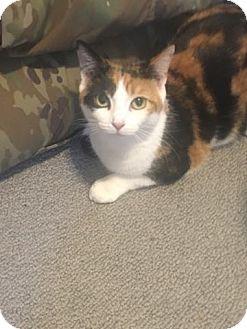 Domestic Shorthair Cat for adoption in Ludowici, Georgia - Marsha