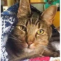 Adopt A Pet :: Tigre - La puente, CA