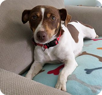 Terrier (Unknown Type, Small)/Feist Mix Dog for adoption in Nashville, Tennessee - Lizzie Lou