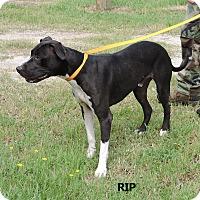 Adopt A Pet :: Rip - Washington, GA
