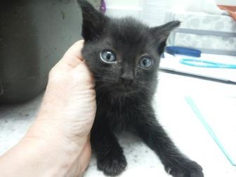 Domestic Shorthair/Domestic Shorthair Mix Cat for adoption in Fort Worth, Texas - 36005358
