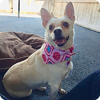 Corgi/Dachshund Mix Dog for adoption in Los Angeles, California - Little Maddie