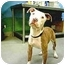 Photo 2 - Pit Bull Terrier/American Bulldog Mix Puppy for adoption in Burbank, California - DOLLY