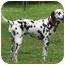 Photo 3 - Dalmatian Dog for adoption in Upper Marlboro, Maryland - PURDY