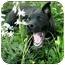 Photo 2 - American Pit Bull Terrier Mix Dog for adoption in Lawton, Oklahoma - BOLERO