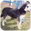 Photo 1 - Irish Wolfhound/Labrador Retriever Mix Dog for adoption in Bloomsburg, Pennsylvania - Liz