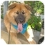 Photo 4 - Golden Retriever/Chow Chow Mix Puppy for adoption in San Pedro, California - Milo